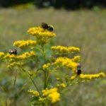 Cooper Farm goldenrod & bees