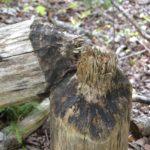 Furth Talalay beaver chew