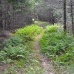 Furth Talalay ferns on trail