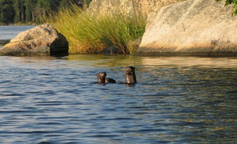 Otters in the Bagaduce