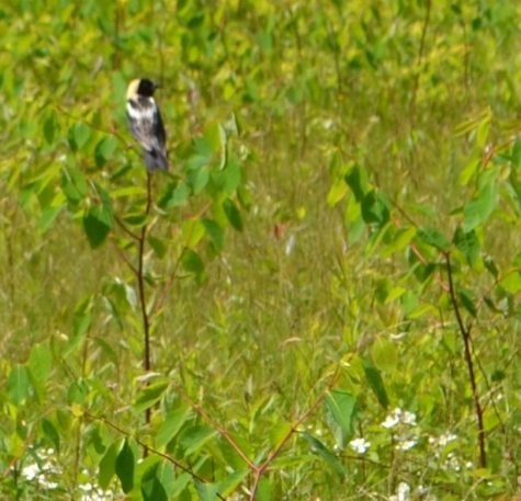 Hatch Cove Bobolink