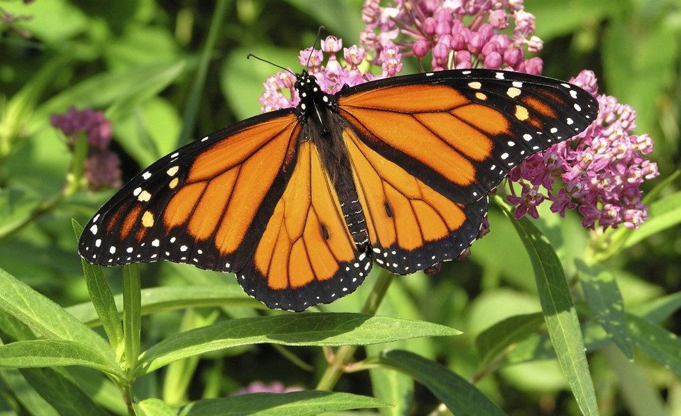 Milkweed, Monarchs and Management- by Pam Johnson